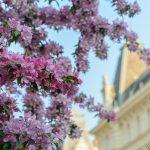 Vienna in spring: blossom